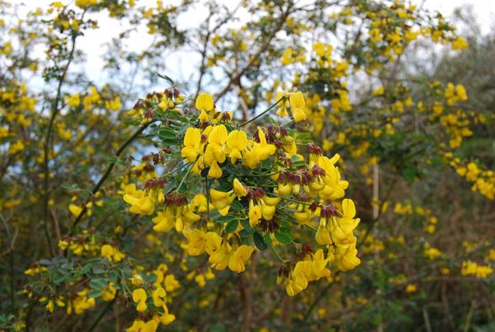 Citiso o erba medica arborea questo il dilemma foto for Nomi fiori bianchi e gialli