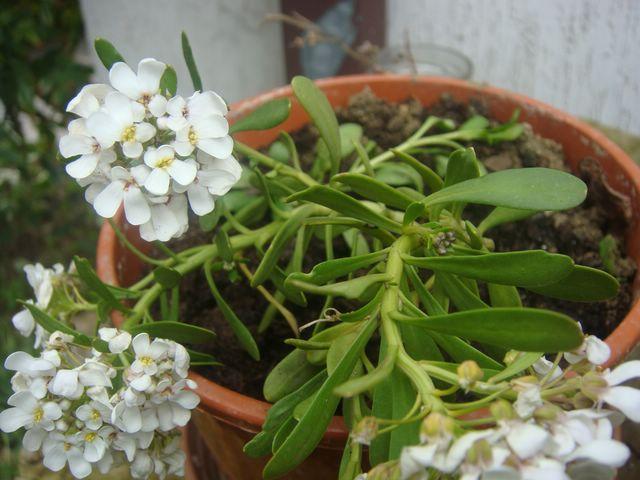 pianta grassa con fiore bianco - Foto dei Fiori e delle ...