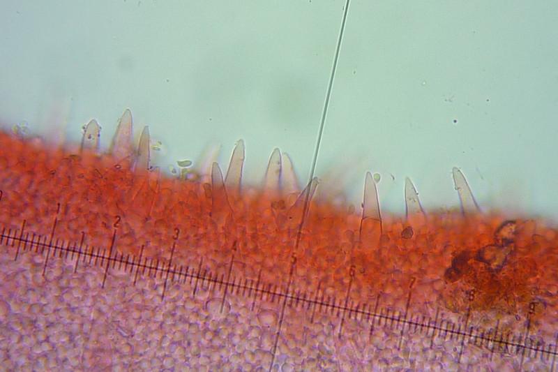 Tenacellus (cistidi)_1.jpg