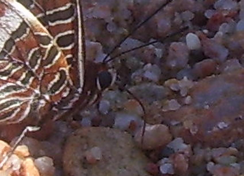farfalla che beve sulla spiaggia 2.jpg