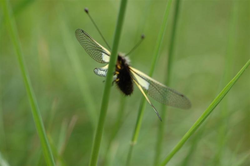 Farfalla con le ali trasparenti animali inferiori da for Divora larve di zanzara
