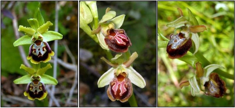 ophrys_2.jpg