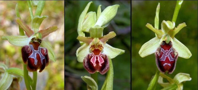 ophrys_4.jpg