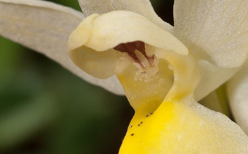 Dactylorhiza-sambucina-09b.jpg