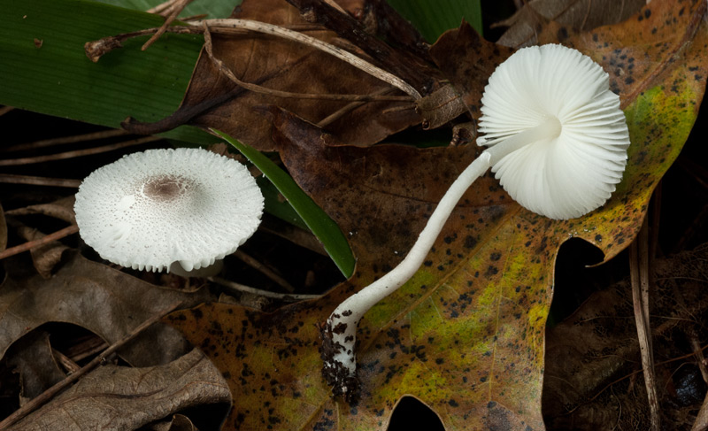 Leucocoprinus brebissonii 01-5.jpg