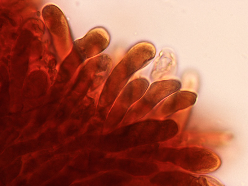 Suillus-granulatus-014-Pleurocistidii.jpg