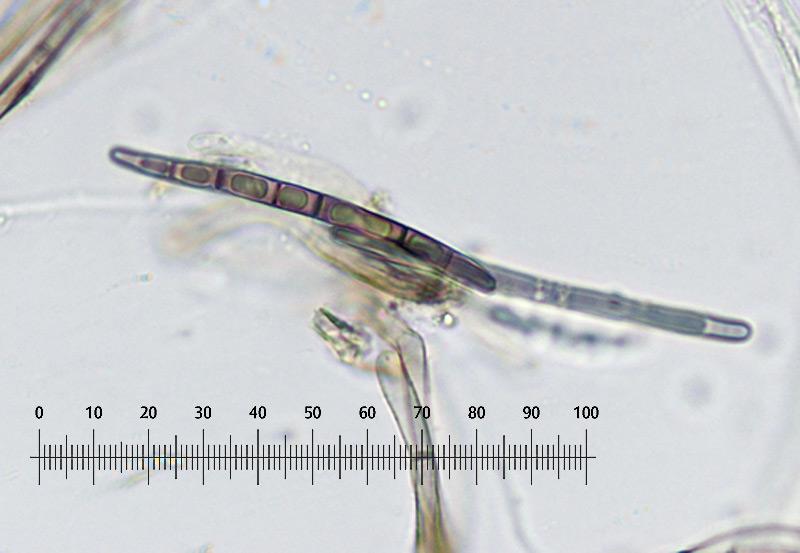 Trichoglossum-walteri-46R-Imenio.jpg
