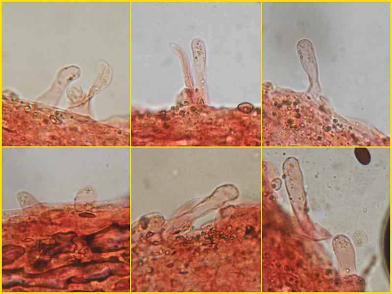 Coprinus-auricomus-01-7-Cheilocistidi-Rosso-Congo.jpg