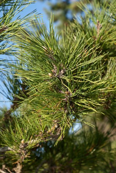 Pinus-nigra-02.jpg