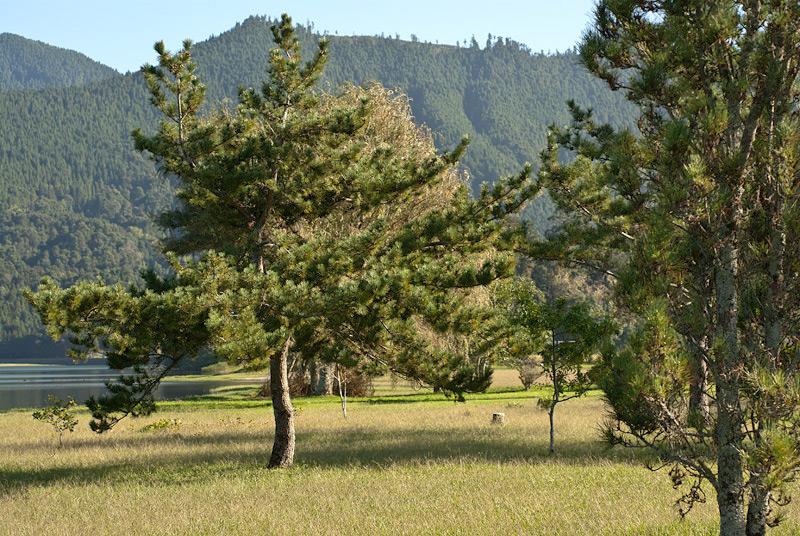 Pinus-nigra-01.jpg