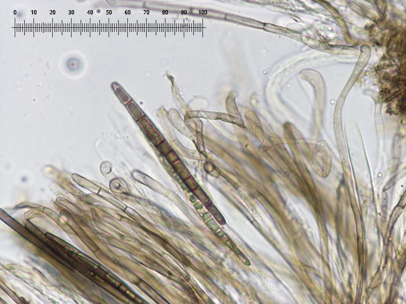 Trichoglossum-walteri-57R-Imenio.jpg