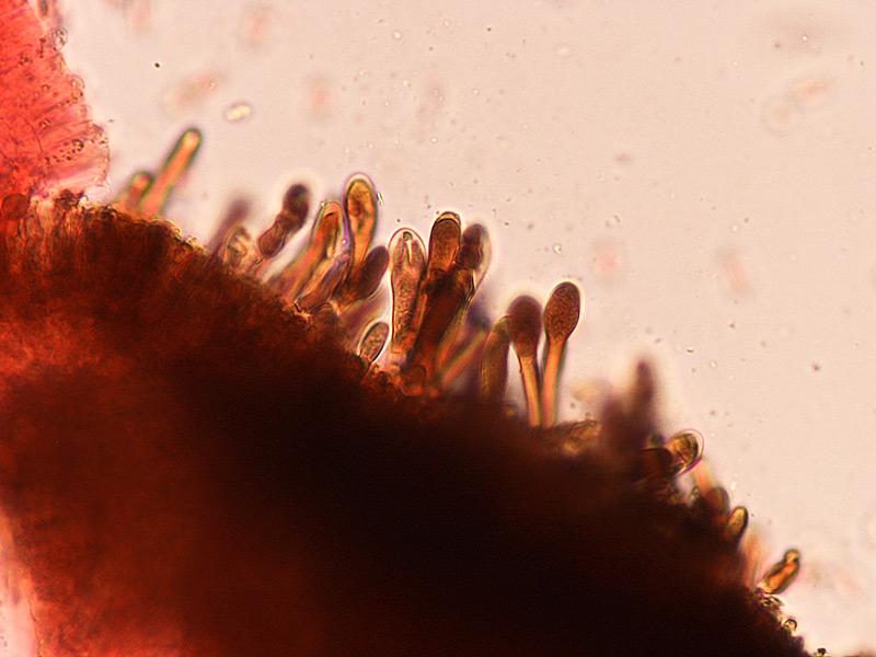 Suillus-granulatus-004-Pleurocistidii.jpg