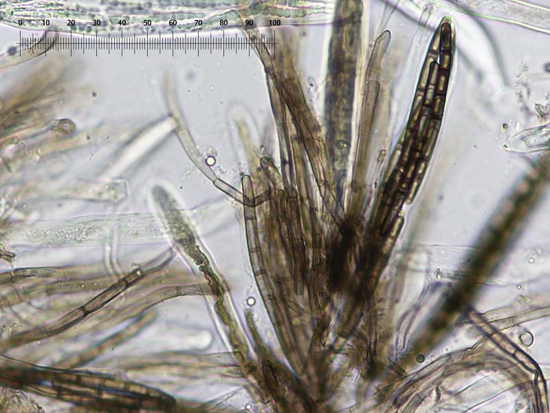 Trichoglossum-walteri-53R-Imenio.jpg