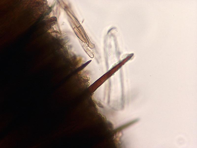 Trichoglossum-walteri-39-Imenio.jpg