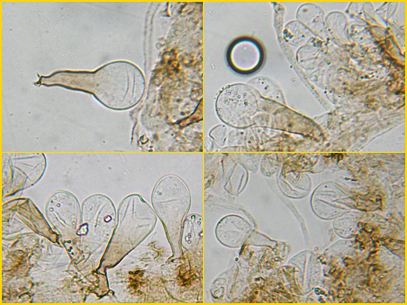 Coprinus-auricomus-27-8-31-2-Pileocistidi-Acqua.jpg
