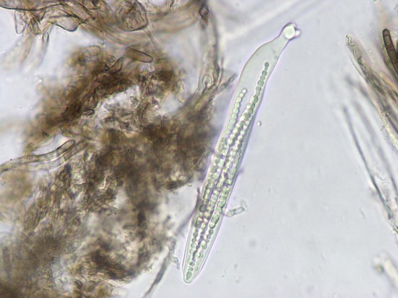 Trichoglossum-walteri-54-Imenio.jpg