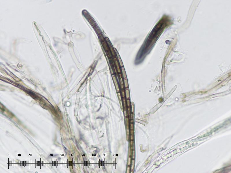 Trichoglossum-walteri-49R-Imenio.jpg