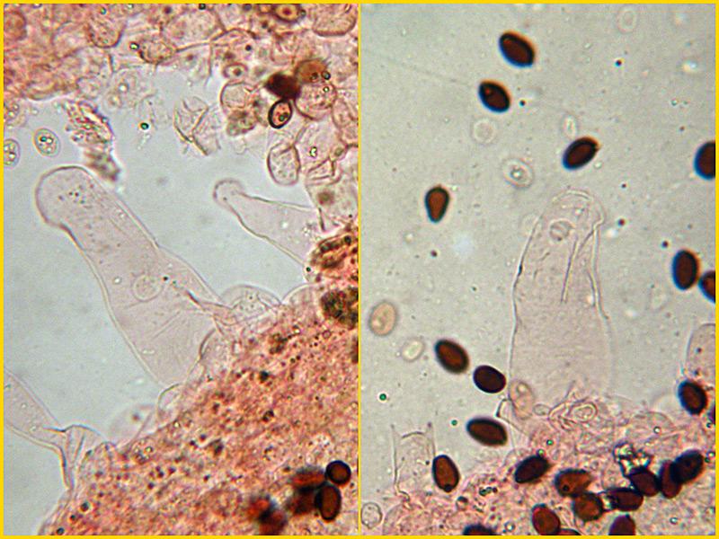 Coprinus-auricomus-21-2-Pleurocistidi-Rosso-Congo.jpg