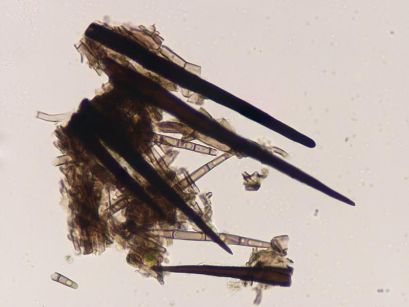 Trichoglossum-walteri-14-6-Stipite.jpg