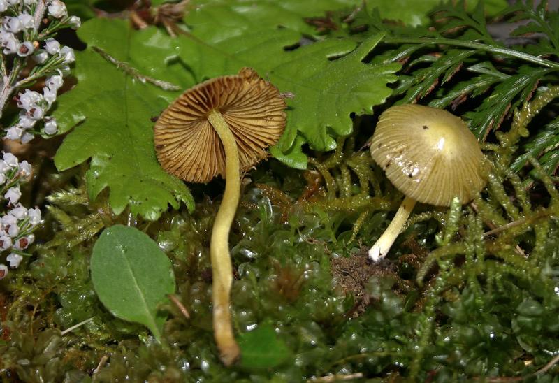 Bolbitius vitellinus 001_1.jpg