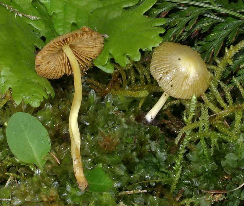 Bolbitius vitellinus 006_1.jpg