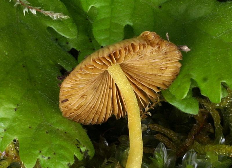 Bolbitius vitellinus 007_3.jpg