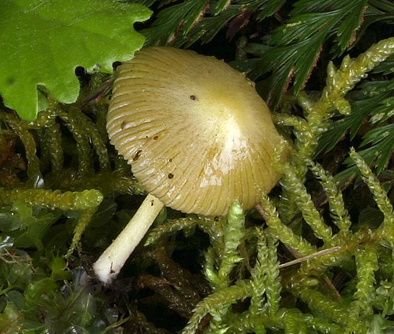 Bolbitius vitellinus 007_2.jpg