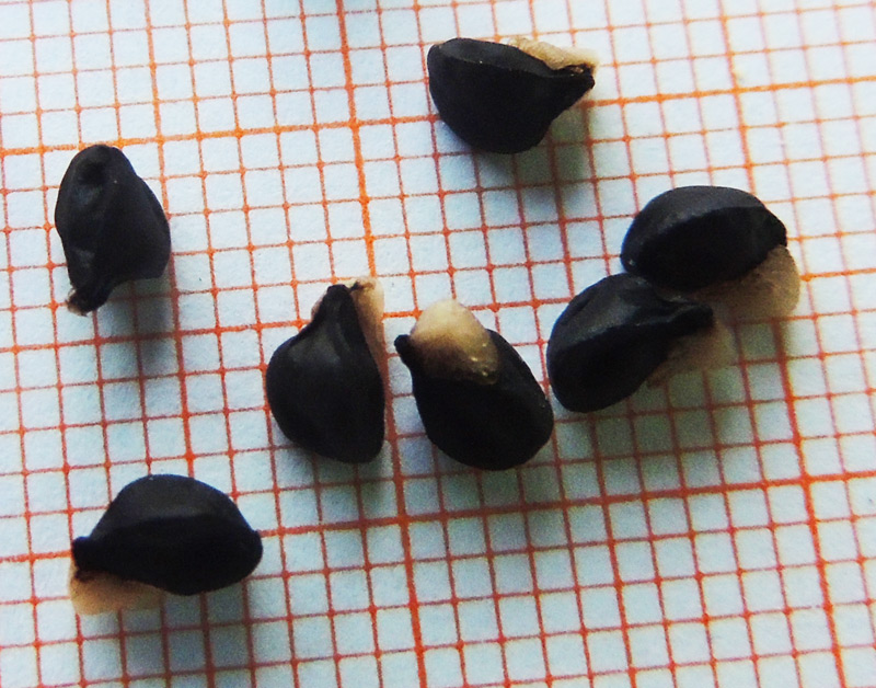 Allium-aprile-2014-004.jpg