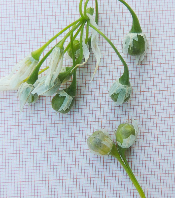 Allium-aprile-2014-001.jpg