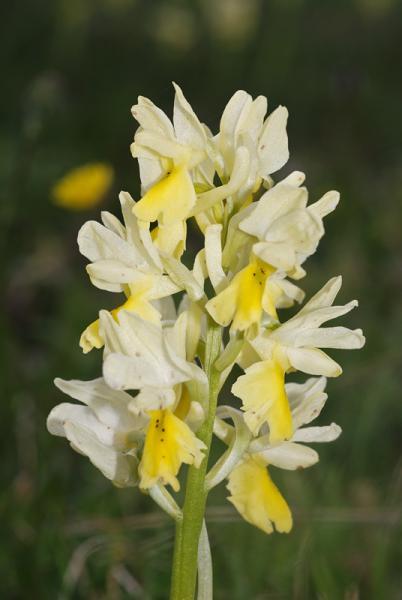 Orchis-pauciflora-12.jpg