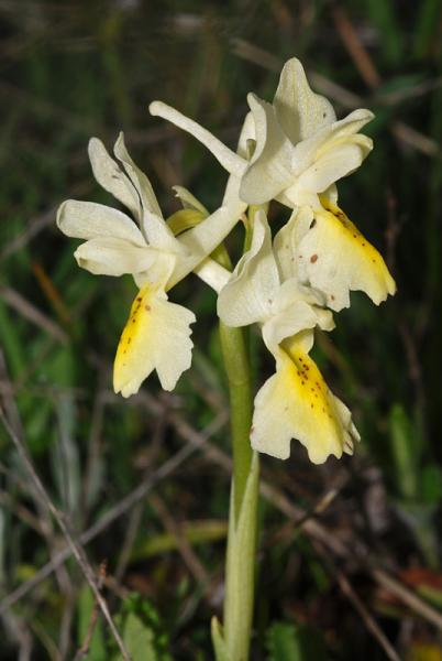 Orchis-pauciflora-08.jpg