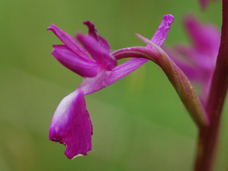 Dactylhoriza_laxiflora.jpg