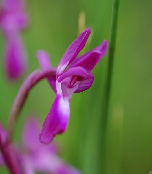 Dactylhoriza_laxiflora__4_.jpg