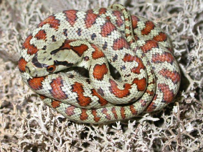 Pu un serpente italiano essere cos bello rettili e for Serpente nero italiano