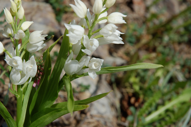 Cephalanthera_longifolia_L.__3_.jpg