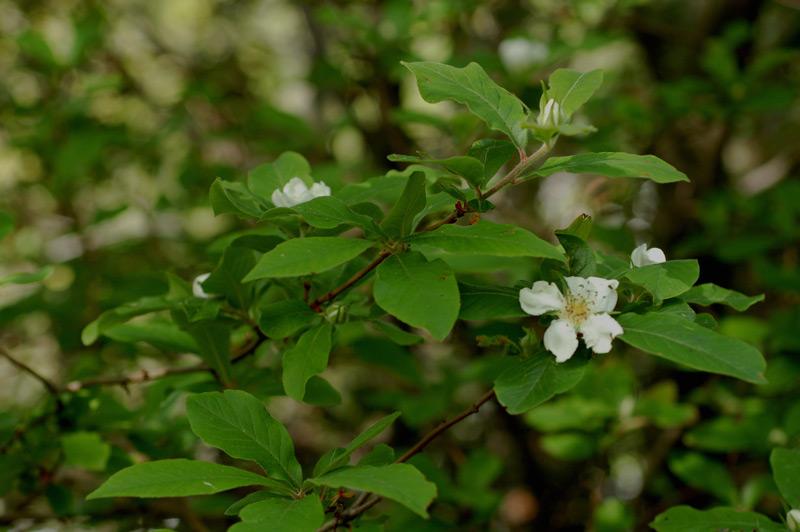 Mespilus Germanica L