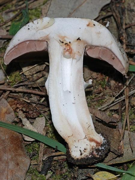 Agaricus pseudopratensis: http://gribisrael.narod.ru/Species_List/Agaricus/Agaricus_pseudopratensis.htm