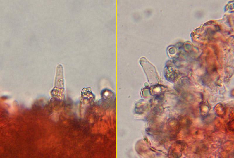 Entoloma-sericellum-13-4.-Cistidi.jpg