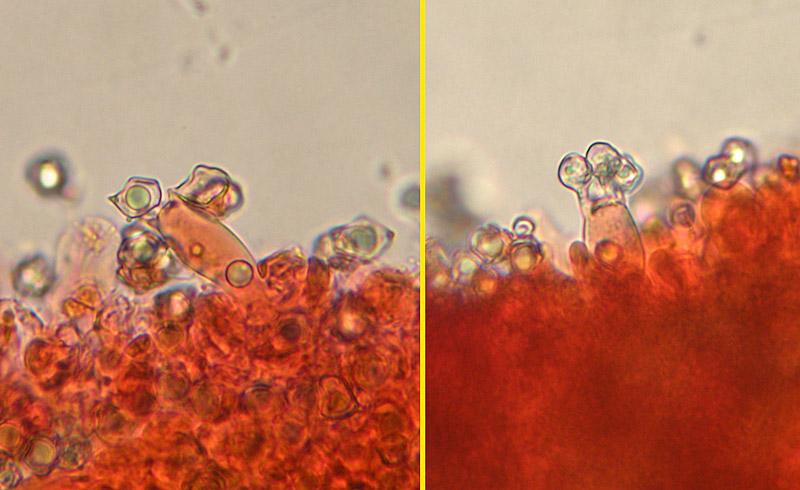 Entoloma-sericellum-15-6-Basidi.jpg