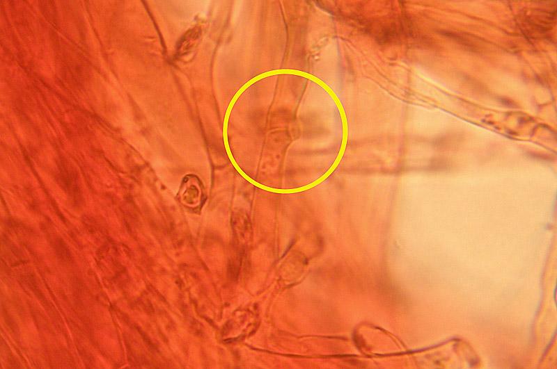 Entoloma-sericellum-17b-GAF.jpg