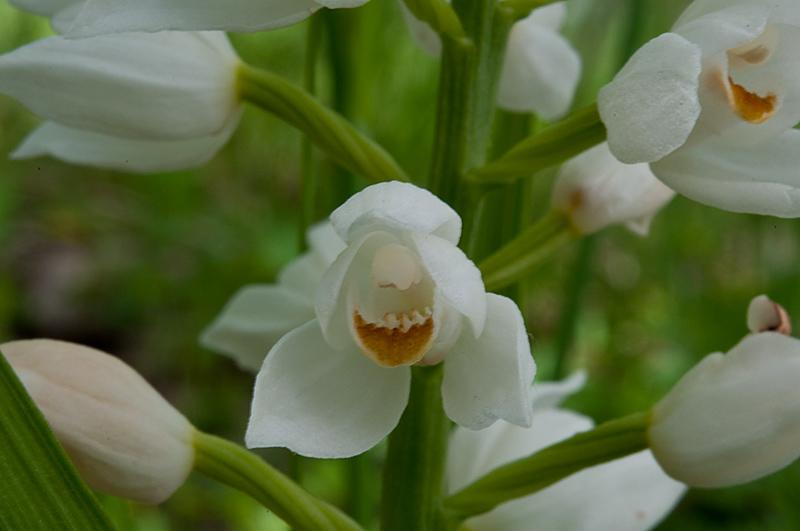 Cephalanthera-longifolia_7994_12.jpg
