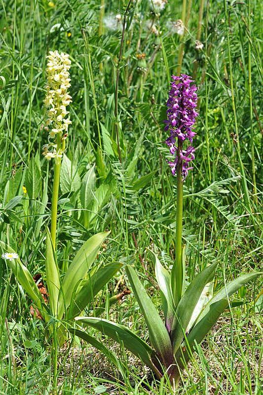 Orchis-x-lorenziana-Bruggerc.jpg