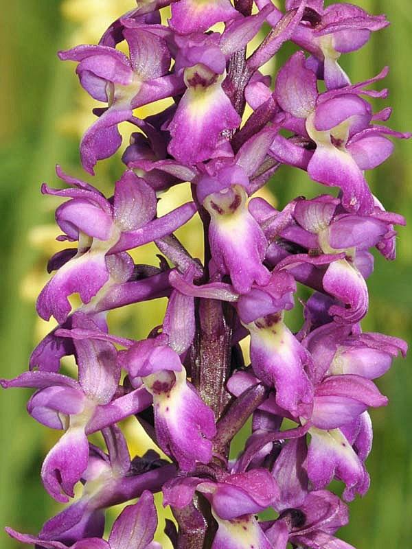Orchis-x-lorenziana-Bruggerc1.jpg