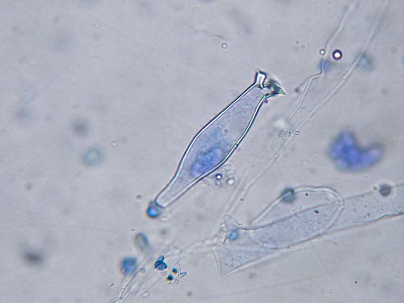 Pluteus-salicinus-47.jpg