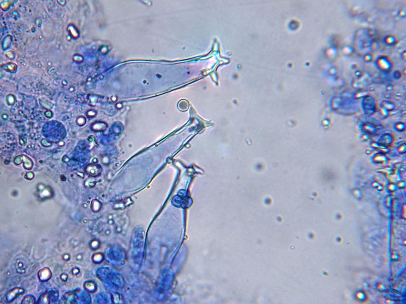 Pluteus-salicinus-49-50-1-3.jpg