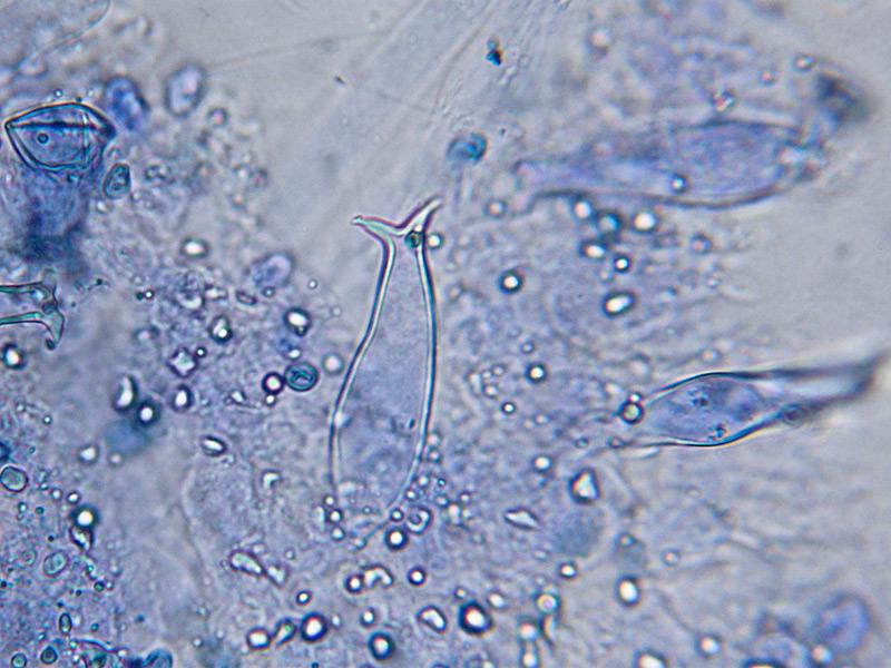 Pluteus-salicinus-48.jpg
