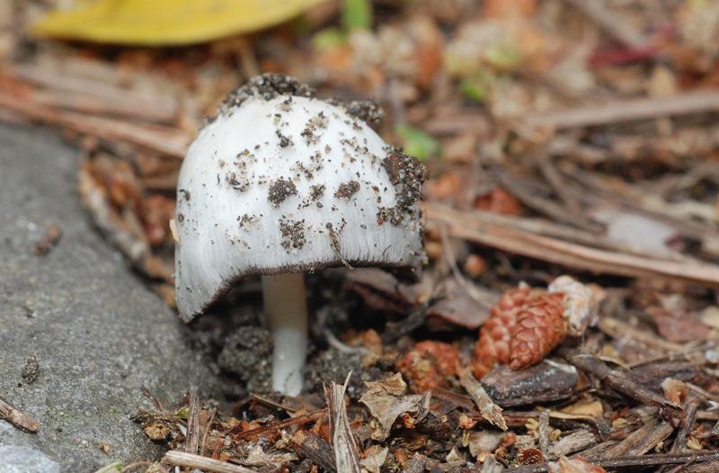 Coprinus_spilosporus_01.jpg