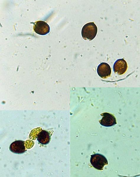 Coprinus_spilosporus_m01.jpg