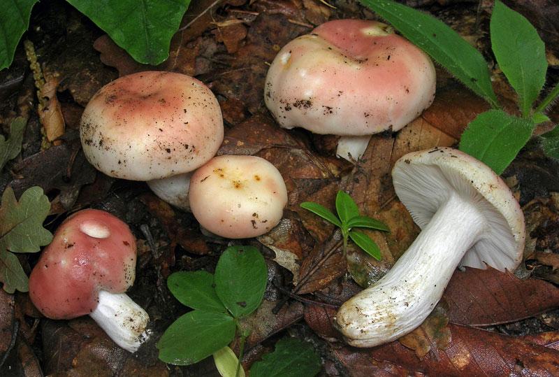 Сыроежка пищевая (Russula vesca)