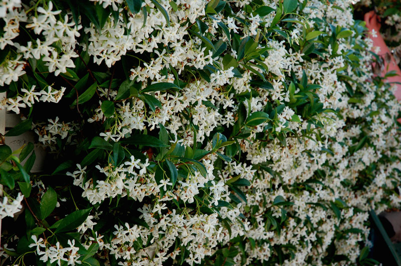 Trachelospermum jasminoides lindl lem falso gelsomino for Gelsomino potatura
